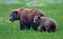 Coastal Brown Bear Sow and Cub by David DesRochers