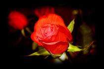 Red Rose by Milena Ilieva