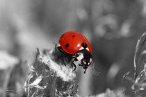 Marienkäfer - Ladybird von ropo13