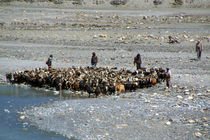 Goats at River en route to Ghasa by serenityphotography