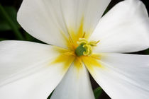 White-primrose-flower-yellow-centre