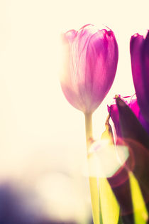 Purple tulips by Lars Hallstrom