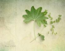 Alchemilla vulgaris by Franziska Rullert