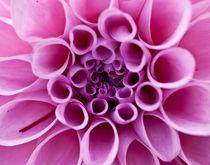 Pink Dahlia von Shannon Workman