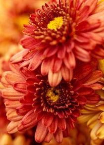 Autumn Mums von Shannon Workman