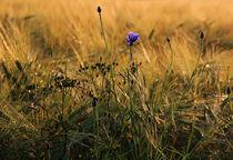 Kornblume im Feld by Wolfgang Dufner