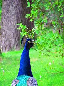 Peacock by Katia Zaccaria-Cowan