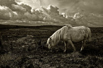 Pony grazing on Dartmoor by Rob Hawkins