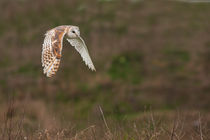 Barn-owl-in-flight