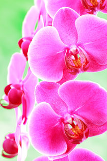 Moth Orchid by Martin Williams