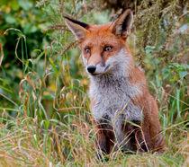'The Watching Fox' by Fran Walding