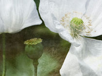 white poppies von Franziska Rullert