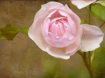 Heritage-rose