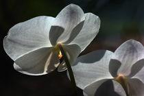 Orchidee im Gegenlicht by Anja Abel