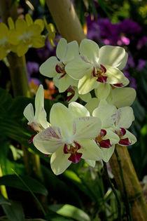 Gelbe Orchidee von Anja Abel