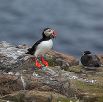 Puffin with Sand Eels von Louise Heusinkveld