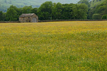 Field of buttercups and stone barn, Swaledale, North Yorkshire by Louise Heusinkveld