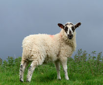 Lamb in Wensleydale by Louise Heusinkveld