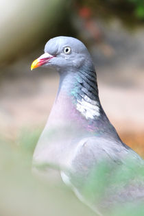 Pigeon portrait by linconnu