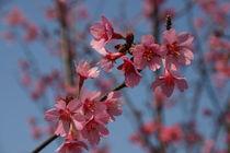 Frühlingsblüten by rheo