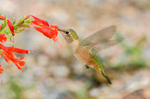 Bihu-0464-broad-tailed-hummingbird-selasphorus-platycercus