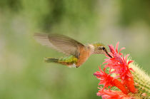 Bihu-0494-broad-tailed-hummingbird-selasphorus-platycercus