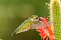 Broad-tailed Hummingbird by Barbara Magnuson & Larry Kimball