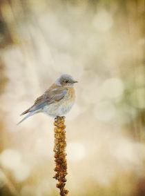 Western Bluebird [Sialia mexicana] von Barbara Magnuson & Larry Kimball