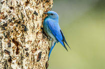 Mountain Bluebird Guard by Barbara Magnuson & Larry Kimball