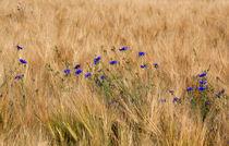 Kornblumen im Feld by Wolfgang Dufner