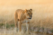 Lioness in the morning sun Masai Mara by Maggy Meyer