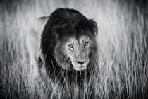 Lion Notch, Masai Mara, Kenya by Maggy Meyer