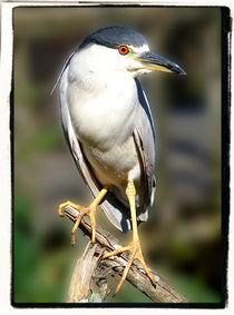 Black Crowned Night Heron by Brian Grady