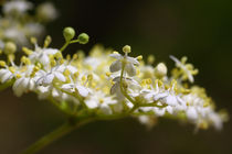 Holunderblüte - Elderflower by ropo13