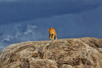 Lioness on kopjes just before it rained by Maggy Meyer