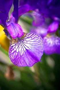 Violet Iris by olgasart