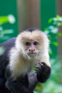 white-faced monkey by Craig Lapsley