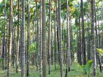 Betel nut farm by Nandan Nagwekar