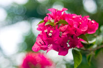 Bougainvillea - Red bunch of flowers von reorom