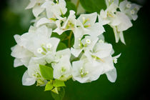 Bougainvillea - White bunch of flowers von reorom