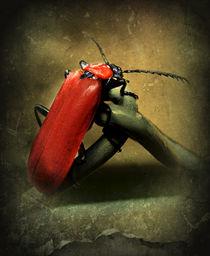 Roter Feuerkäfer by Elke Balzen
