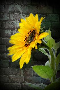 Sonnenblume by Elke Balzen