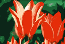 TULPEN (tulipa) by helmut krauß
