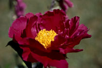 paeonia (pfingstrose) by helmut krauß