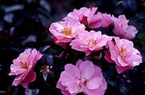 rosa (rosen) by helmut krauß