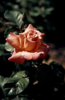 Rosa-v2450
