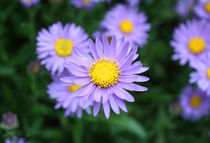 Purple Daisy by Bianca Valentina Pistillo