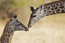 Giraffe tenderness