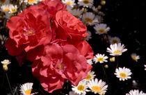 rosa et leucanthemum vulgare (rosen und margeriten) von helmut krauß