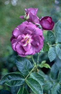 rosa (rose) by helmut krauß